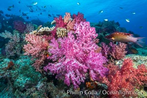 Spectacularly colorful dendronephthya soft corals on South Pacific reef, reaching out into strong ocean currents to capture passing planktonic food, Fiji. Nigali Passage, Gau Island, Lomaiviti Archipelago, Dendronephthya, natural history stock photograph, photo id 31382