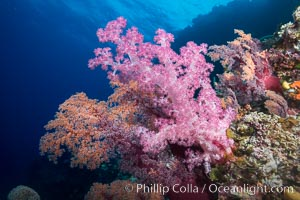 Spectacularly colorful dendronephthya soft corals on South Pacific reef, reaching out into strong ocean currents to capture passing planktonic food, Mount Mutiny, Bligh Waters, Fiji, Dendronephthya, Vatu I Ra Passage
