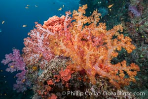 Spectacularly colorful dendronephthya soft corals on South Pacific reef, reaching out into strong ocean currents to capture passing planktonic food, Fiji, Dendronephthya, Gau Island, Lomaiviti Archipelago