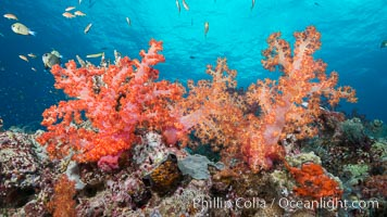 Spectacularly colorful dendronephthya soft corals on South Pacific reef, reaching out into strong ocean currents to capture passing planktonic food, Fiji, Dendronephthya, Pseudanthias, Gau Island, Lomaiviti Archipelago