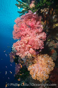 Spectacularly colorful dendronephthya soft corals on South Pacific reef, reaching out into strong ocean currents to capture passing planktonic food, Fiji, Dendronephthya, Tubastrea micrantha