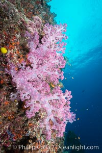 Spectacularly colorful dendronephthya soft corals on South Pacific reef, reaching out into strong ocean currents to capture passing planktonic food, Fiji. Gau Island, Lomaiviti Archipelago, Dendronephthya, natural history stock photograph, photo id 31714