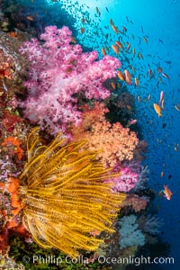 Colorful and exotic coral reef in Fiji, with soft corals, hard corals, anthias fishes, anemones, and sea fan gorgonians, Dendronephthya, Pseudanthias