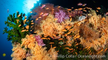 Colorful and exotic coral reef in Fiji, with soft corals, hard corals, anthias fishes, anemones, and sea fan gorgonians. Fiji, Dendronephthya, Pseudanthias, natural history stock photograph, photo id 34802