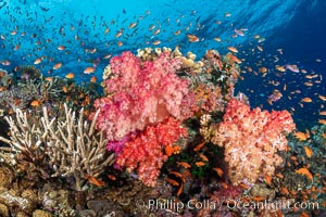 Anthias fishes school over the colorful Fijian coral reef, everything taking advantage of currents that bring planktonic food. Fiji, Dendronephthya, Pseudanthias, Bligh Waters