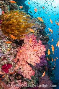 Colorful and exotic coral reef in Fiji, with soft corals, hard corals, anthias fishes, anemones, and sea fan gorgonians., Dendronephthya, Pseudanthias, natural history stock photograph, photo id 34895