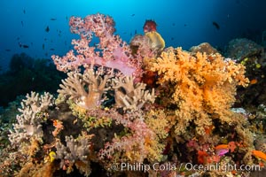 Image 34896, Colorful and exotic coral reef in Fiji, with soft corals, hard corals, anthias fishes, anemones, and sea fan gorgonians., Dendronephthya, Pseudanthias, Phillip Colla, all rights reserved worldwide.   Keywords: alcyonacea:animal:animalia:anthozoa:bligh waters:carnation coral:cnidaria:coral:coral reef:dendronephthya:fiji:fiji islands:fijian islands:island:marine:marine invertebrate:nature:nephtheidae:ocean:oceania:pacific:pacific ocean:reef:soft coral:south pacific:tree coral:tropical:underwater:vatu i ra:vatu i ra passage:viti levu.