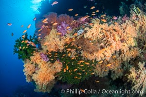 Colorful and exotic coral reef in Fiji, with soft corals, hard corals, anthias fishes, anemones, and sea fan gorgonians., Dendronephthya, Pseudanthias, natural history stock photograph, photo id 34897