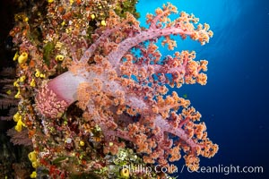 Fiji is the soft coral capital of the world, Seen here are beautifully colorful dendronephthya soft corals reaching out into strong ocean currents to capture passing planktonic food, Fiji, Dendronephthya, Vatu I Ra Passage, Bligh Waters, Viti Levu Island