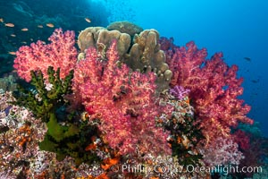 Spectacularly colorful dendronephthya soft corals on South Pacific reef, reaching out into strong ocean currents to capture passing planktonic food, Fiji, Dendronephthya, Bligh Waters