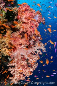 Anthias fishes school over the colorful Fijian coral reef, everything taking advantage of currents that bring planktonic food. Fiji. Bligh Waters, Dendronephthya, Pseudanthias, natural history stock photograph, photo id 35022