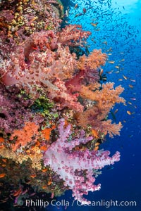 Anthias fishes school over the colorful Fijian coral reef, everything taking advantage of currents that bring planktonic food. Fiji. Bligh Waters, Dendronephthya, Pseudanthias, natural history stock photograph, photo id 35023