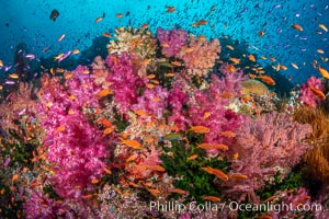 Vibrant displays of color among dendronephthya soft corals on South Pacific reef, reaching out into strong ocean currents to capture passing planktonic food, Fiji. Vatu I Ra Passage, Bligh Waters, Viti Levu Island, Fiji, Dendronephthya, natural history stock photograph, photo id 35042