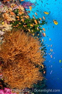 Colorful and exotic coral reef in Fiji, with soft corals, hard corals, anthias fishes, anemones, and sea fan gorgonians, Pseudanthias