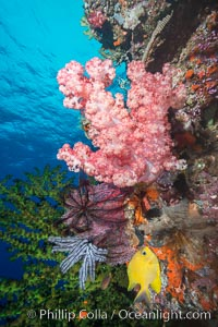 Soft corals (gorgonians, dendronephthya) and hard corals cover a pristine and beautiful south Pacific coral reef, Fiji, Dendronephthya, Gorgonacea, Vatu I Ra Passage, Bligh Waters, Viti Levu  Island