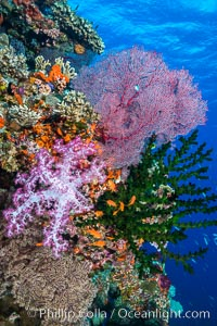 Soft corals (gorgonians, dendronephthya) and hard corals cover a pristine and beautiful south Pacific coral reef, Fiji. Fiji, Dendronephthya, Pseudanthias, Gorgonacea, Tubastrea micrantha, Plexauridae, natural history stock photograph, photo id 31598