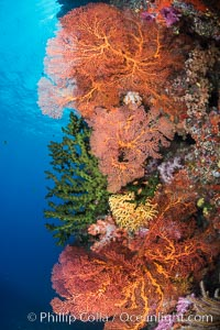Soft corals (gorgonians, dendronephthya) and hard corals cover a pristine and beautiful south Pacific coral reef, Fiji, Dendronephthya, Gorgonacea, Plexauridae, Vatu I Ra Passage, Bligh Waters, Viti Levu  Island