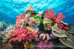 Colorful dendronephthya soft corals and various hard corals, flourishing on a pristine healthy south pacific coral reef.  The soft corals are inflated in strong ocean currents, capturing passing planktonic food with their many small polyps, Dendronephthya, Namena Marine Reserve, Namena Island, Fiji
