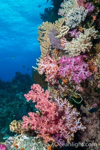Colorful dendronephthya soft corals and various hard corals, flourishing on a pristine healthy south pacific coral reef.  The soft corals are inflated in strong ocean currents, capturing passing planktonic food with their many small polyps, Dendronephthya