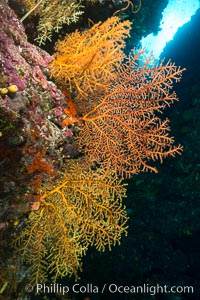 Colorful Chironephthya soft corals capture planktonic food in passing ocean currents, Fiji, Chironephthya, Vatu I Ra Passage, Bligh Waters, Viti Levu  Island