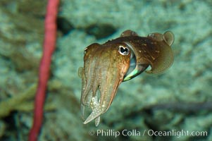 Image 07804, Common cuttlefish., Sepia officinalis, Phillip Colla, all rights reserved worldwide. Keywords: animal, cephalopod, choco, common cuttlefish, cuttlefish, gemeiner, gemeiner tintenfisch, gewone zeekat, invertebrate, marine invertebrate, mollusk, ocean, seiche commune, sepia com�n, sepia officinalis, sepiabl�ksprutte, seppia, seppia meditteranea, tintenfisch, underwater, wildlife, yleinen mustekala.