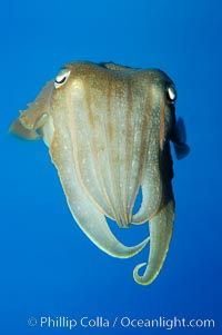 Image 10302, Common cuttlefish., Sepia officinalis