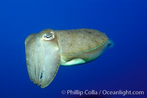 Common cuttlefish., Sepia officinalis, natural history stock photograph, photo id 10306
