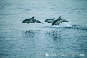 Common dolphin leaping (porpoising). San Diego, California, USA, Delphinus delphis, natural history stock photograph, photo id 04939