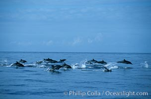 Common dolphin. San Diego, California, USA, Delphinus delphis, natural history stock photograph, photo id 06421