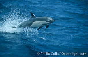 Common dolphin leaping (porpoising). San Diego, California, USA, Delphinus delphis, natural history stock photograph, photo id 04920