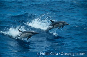 Common dolphin, Baja California., Delphinus delphis, natural history stock photograph, photo id 04924