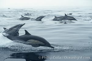 Common dolphin, Baja California., Delphinus delphis, natural history stock photograph, photo id 04929