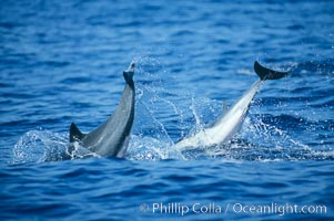 Common dolphin leaping (porpoising). San Diego, California, USA, Delphinus delphis, natural history stock photograph, photo id 04930