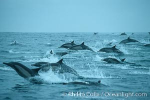 Common dolphin, Baja California., Delphinus delphis, natural history stock photograph, photo id 04931