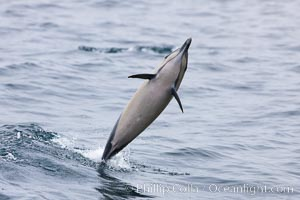 Common dolphin leaping from the ocean, Delphinus delphis, Santa Barbara, California
