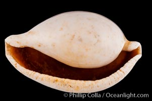 Common Egg Cowrie, Ovula ovum