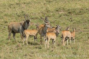 Common eland, Maasai Mara, Kenya. Maasai Mara National Reserve, Taurotragus oryx, natural history stock photograph, photo id 29902