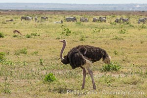 Common Ostrich. Amboseli National Park, Kenya, Struthio camelus, natural history stock photograph, photo id 29495