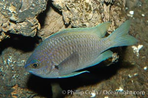 Connies Damsel., Chromis limbaughi, natural history stock photograph, photo id 09223