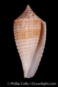 Conus pseudosulcatus., Conus pseudosulcatus, natural history stock photograph, photo id 07976