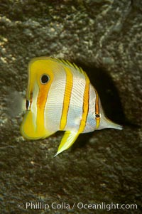 Image 10995, Copperband butterflyfish., Chelmon rostratus