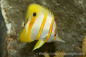 Copperband butterflyfish., Chelmon rostratus, natural history stock photograph, photo id 10997