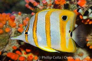 Copperband butterflyfish, Chelmon rostratus, natural history stock photograph, photo id 27216