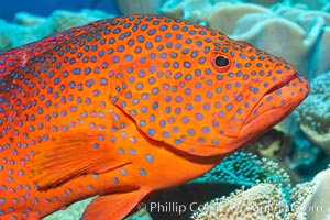Coral Hind, Cephalopholis miniata, also known as Coral Trout and Coral Grouper, Fiji. Namena Marine Reserve, Namena Island, Cephalopholis miniata, natural history stock photograph, photo id 34757