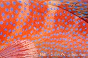 Coral Hind, Cephalopholis miniata, also known as Coral Trout and Coral Grouper, Fiji. Namena Marine Reserve, Namena Island, Fiji, Cephalopholis miniata, natural history stock photograph, photo id 34926