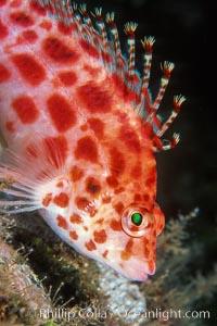 Coral hawkfish. Wolf Island, Galapagos Islands, Ecuador, Cirrhitichthys oxycephalus, natural history stock photograph, photo id 02432