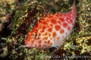 Image 05056, Coral hawkfish. Wolf Island, Galapagos Islands, Ecuador, Cirrhitichthys oxycephalus, Phillip Colla, all rights reserved worldwide. Keywords: animal, cirrhitichthys oxycephalus, color and pattern, coral hawkfish, disruptive coloration, ecuador, fish, fish anatomy, galapagos, galapagos islands, halcon de coral, hawkfish, indo-pacific, marine fish, oceans, pacific, underwater, wolf island, world heritage sites.
