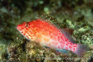 Coral hawkfish, Cirrhitichthys oxycephalus, Wolf Island