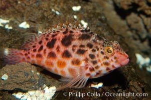 Coral hawkfish. Punte Vicente Roca, Cirrhitichthys oxycephalus, natural history stock photograph, photo id 09228