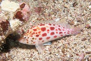 Coral hawkfish, Cirrhitichthys oxycephalus, Cousins